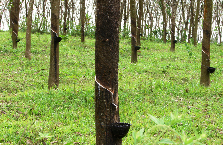 rubber_trees_in_kerala_india.jpg